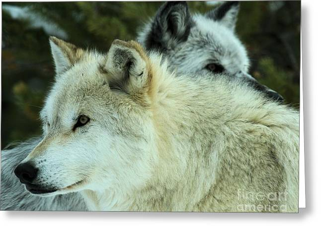 Alpha Wolf Greeting Cards - Alpha In The Background Greeting Card by Adam Jewell
