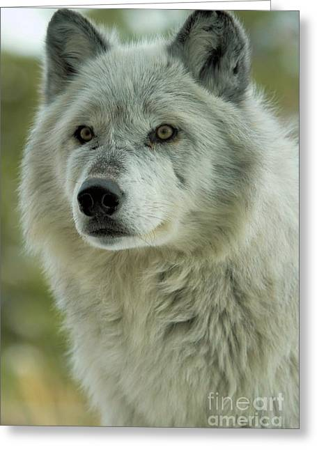 Alpha Wolf Greeting Cards - Alpha In The Wind Greeting Card by Adam Jewell