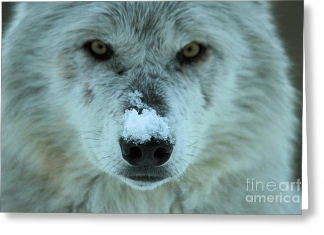 Alpha Wolf Greeting Cards - Alpha Intensity Greeting Card by Adam Jewell