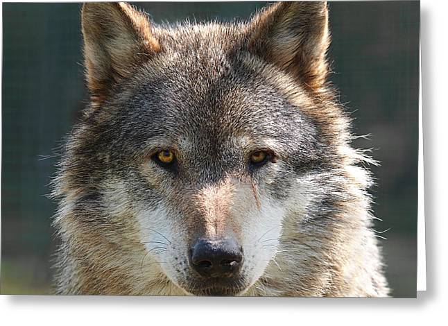 Pack Animal Greeting Cards - Alpha Male Wolf - Im Watching You Greeting Card by Gill Billington