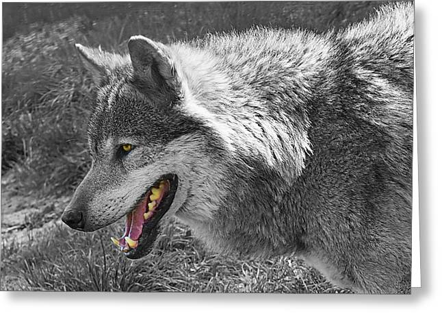 On Guard Greeting Cards - Alpha Male Wolf - You Look Tasty 2 Greeting Card by Gill Billington