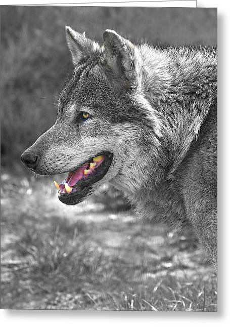 Pack Animal Greeting Cards - Alpha Male Wolf - You Look Tasty Greeting Card by Gill Billington