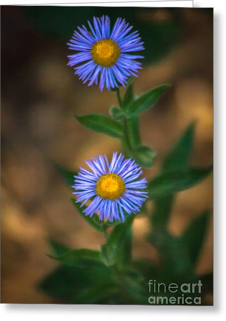 Rosette Greeting Cards - Alpine Aster Greeting Card by Robert Bales
