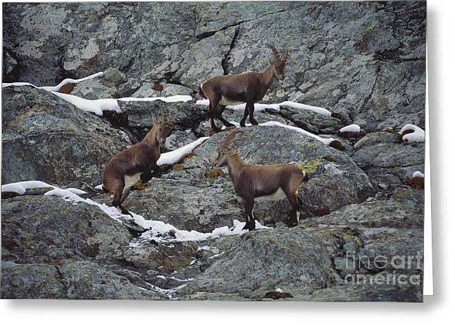 Rearing Up Greeting Cards - Alpine Ibex Fighting Greeting Card by Art Wolfe