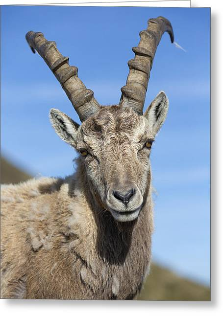 Alpine Ibex  In The Swiss Alps Greeting Card by Bernd Rohrschneider
