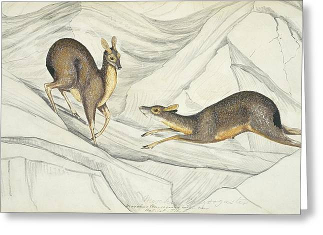 Eutheria Greeting Cards - Alpine musk deer, artwork Greeting Card by Science Photo Library