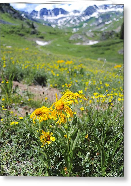 Sunflower Joy Greeting Cards - Alpine Sunflowers Greeting Card by Aaron Spong