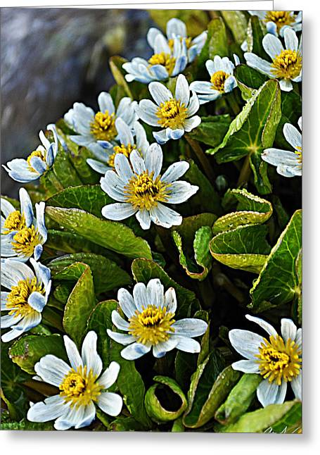 Tiny Whites Greeting Cards - Alpine Wildflowers 2 Greeting Card by Aaron Spong
