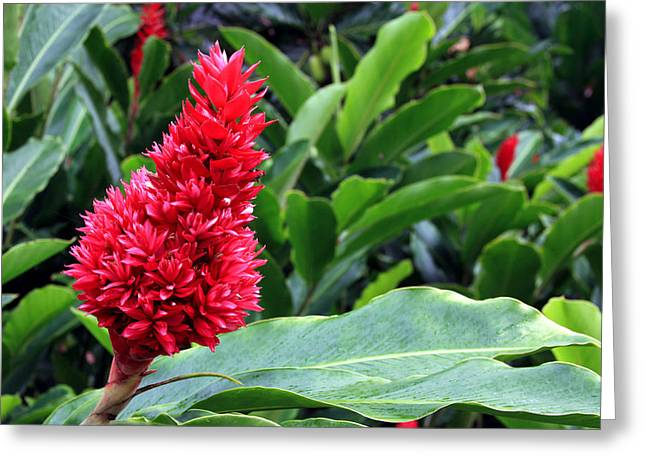 Red Ginger Greeting Cards - Alpinia Tahitian Ginger Red Greeting Card by Karon Melillo DeVega