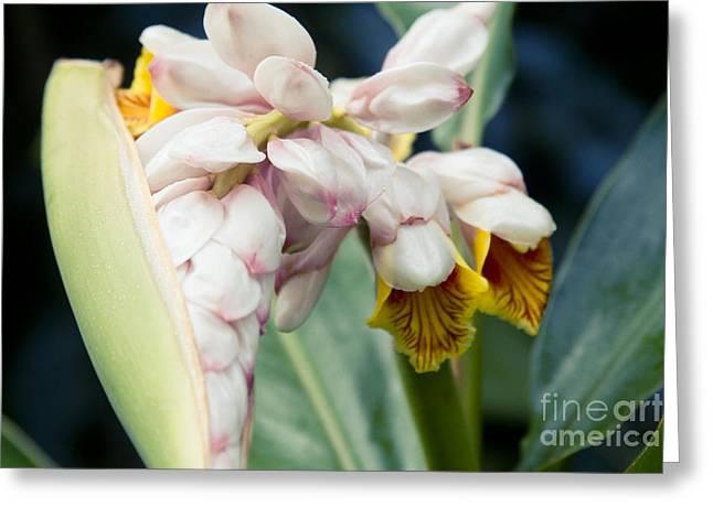Zingiberales Greeting Cards - Alpinia zerumbet - Shell Ginger - Iao Valley Wailuku Maui Hawaii Greeting Card by Sharon Mau