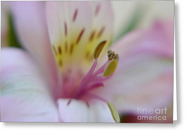Lily Of The Incas Greeting Cards - Alstroemeria in Pastel Greeting Card by Irina Wardas