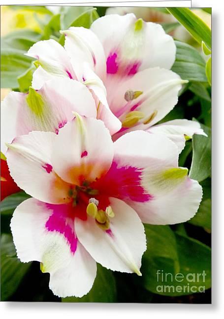 Peruvian Lily Greeting Cards - Alstroemeria Inticancha maya Greeting Card by Ian Gowland