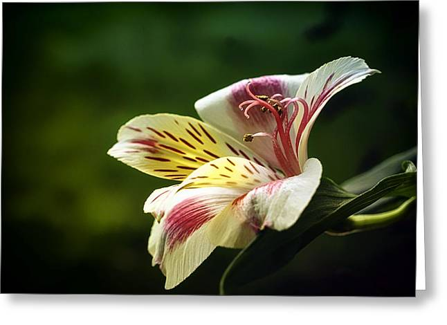 Peruvian Lily Greeting Cards - Alstroemeria One Greeting Card by Darlene Kwiatkowski