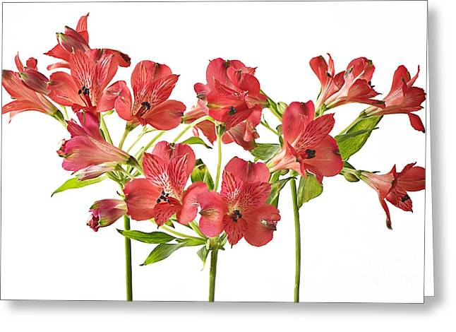 Alstroemeria Greeting Cards - Alstromeria Greeting Card by Jacky Parker