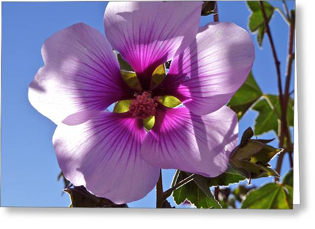 Althea Photographs Greeting Cards - Althea Flower Greeting Card by K L Kingston