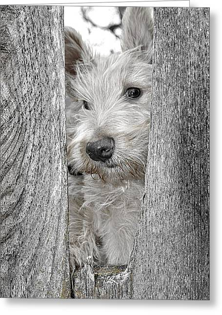 Scottish Terrier Puppy Greeting Cards - Always On The Alert Greeting Card by Image Takers Photography LLC - Laura Morgan