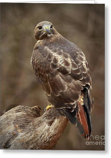 Shelley Myke Greeting Cards - Always on Watch Redtailed Hawk Greeting Card by Inspired Nature Photography By Shelley Myke