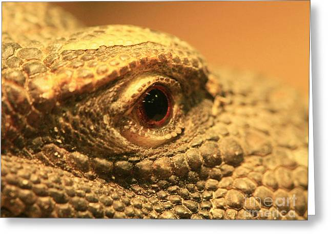 Shelley Myke Greeting Cards - Always Watch Your Back - Benti Uromastyx Lizard Greeting Card by Inspired Nature Photography By Shelley Myke