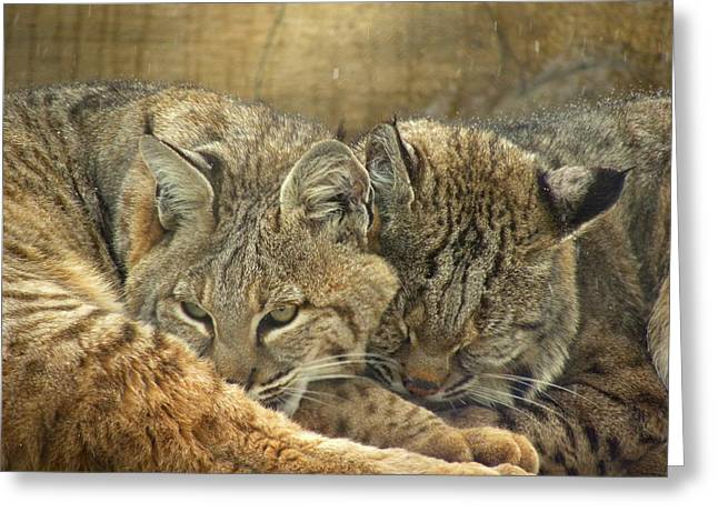 Bobcat Greeting Cards - Always Watching Greeting Card by Teresa Schomig