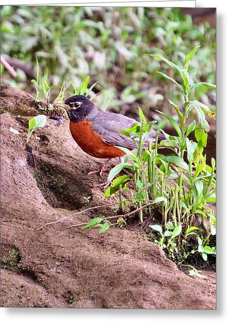 Swallow Nestlings Greeting Cards - Am Robin Greeting Card by Michelle Milano