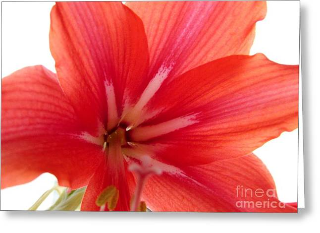 Floral Still Life Pyrography Greeting Cards - Amaryllis 11 Greeting Card by Anna Yurasovsky