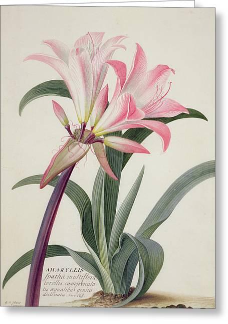 Botany Greeting Cards - Amaryllis Belladonna, 1761 Greeting Card by Georg Dionysius Ehret