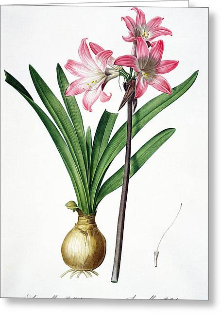 Bulb Flower Greeting Cards - Amaryllis Belladonna, From Les Greeting Card by Pierre Joseph Redoute