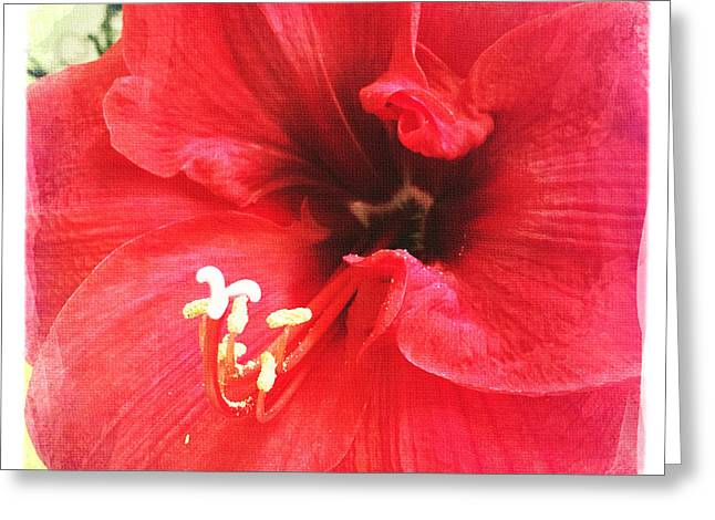 Spring Bulbs Greeting Cards - Amaryllis Greeting Card by Nina Prommer