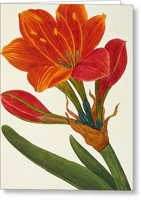 Beauty In Nature Paintings Greeting Cards - Amaryllis purpurea Greeting Card by Pancrace Bessa