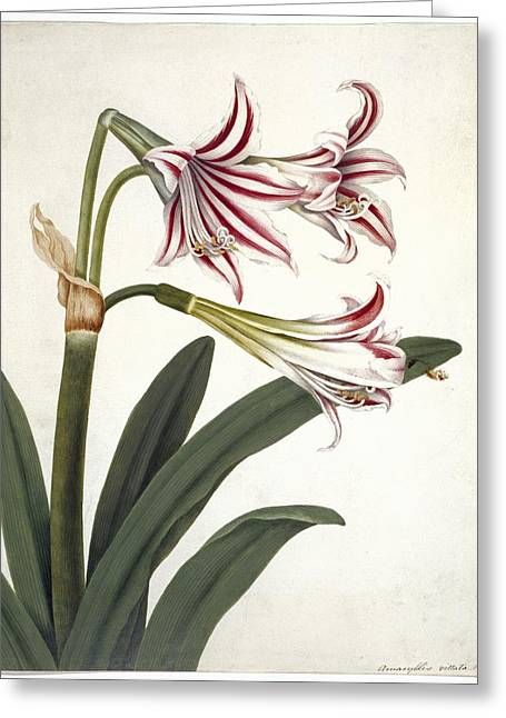 Vittata Greeting Cards - Amaryllis vittata, artwork Greeting Card by Science Photo Library