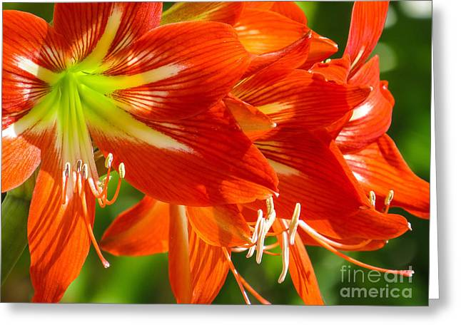 Straps Greeting Cards - Amaryllis Greeting Card by Zina Stromberg