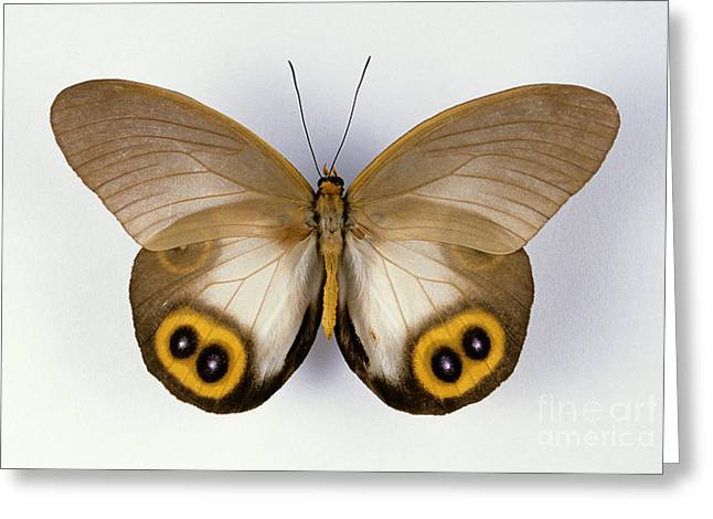 Silhouettable Greeting Cards - Amathusiid Butterfly Greeting Card by Barbara Strnadova