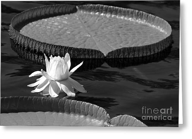Amazonian Art Greeting Cards - Amazing Amazonian Water Lily Greeting Card by Sabrina L Ryan