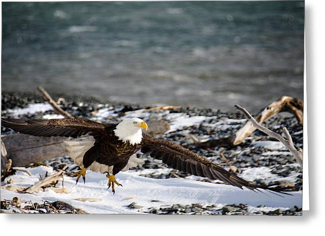 Eagle Images Greeting Cards - Amazing Bald Eagle  Greeting Card by Debra  Miller