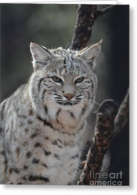 Bobcats Greeting Cards - Amazing Face of a Bobcat Greeting Card by DejaVu Designs