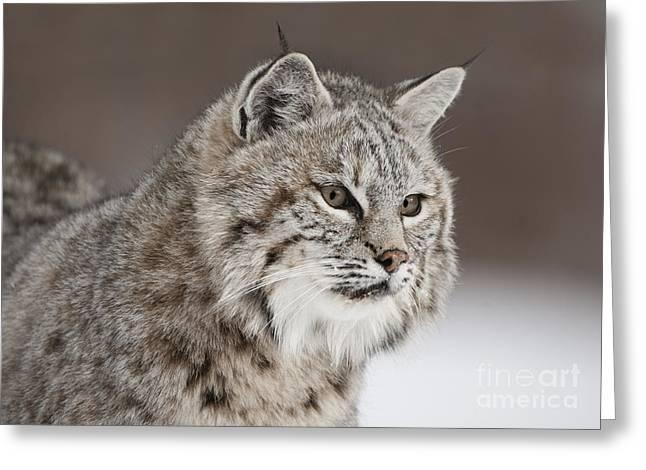 Lynx Rufus Greeting Cards - Amazing Gaze Greeting Card by Wildlife Fine Art