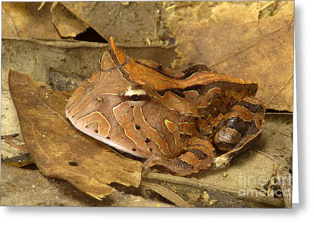 Predacious Greeting Cards - Amazon Horned Frog Greeting Card by Natures Images