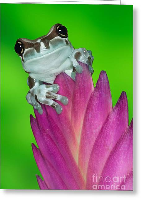 Amazon Milk Frog Trachycephalus Greeting Card by Dennis Flaherty