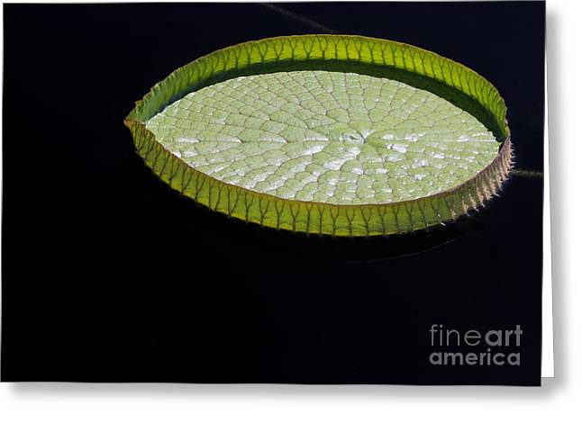 Florida Flowers Greeting Cards - Amazonian Lily Pad Greeting Card by Sabrina L Ryan