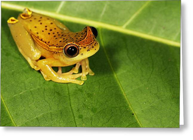 Tree Frog Greeting Cards - Amazonian Tree Frog Greeting Card by JP Lawrence