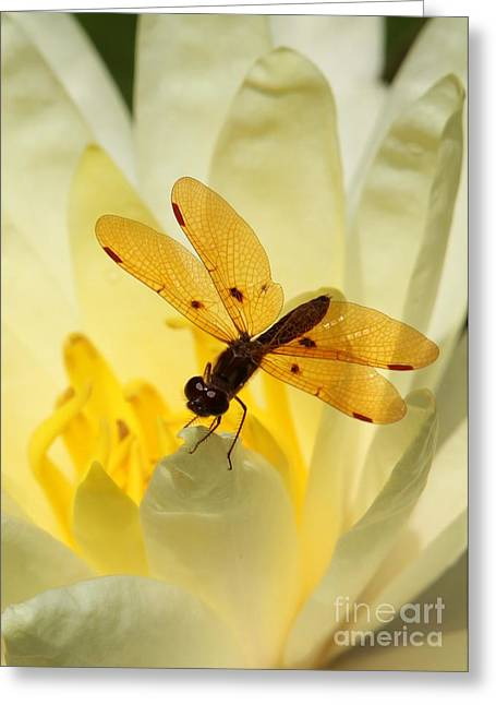 Dragon Fly Greeting Cards - Amber Dragonfly Dancer Greeting Card by Sabrina L Ryan