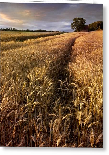 Amber Waves Of Grain Greeting Card by Debra and Dave Vanderlaan