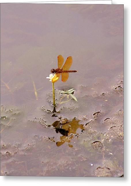 Amberwing Greeting Cards - Amberwing Dragonfly Greeting Card by Karen Silvestri