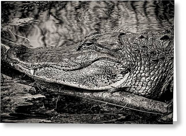 Hiding Greeting Cards - American Alligator-3 Greeting Card by Rudy Umans