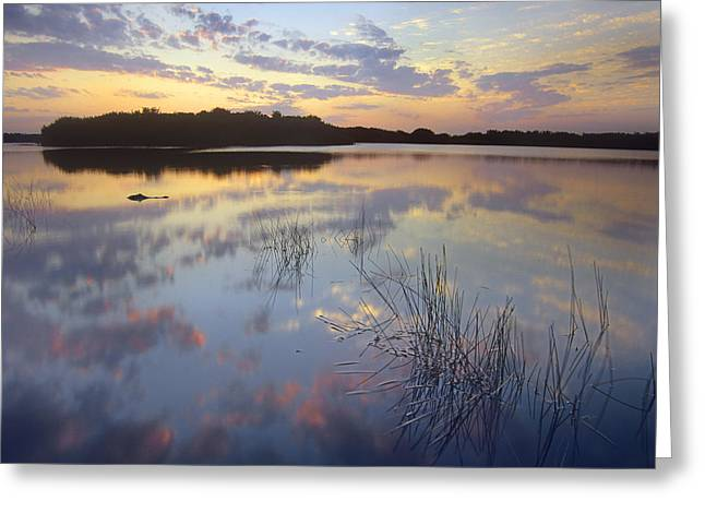 Louisiana Alligator Greeting Cards - American Alligator Everglades Np Florida Greeting Card by Tim Fitzharris