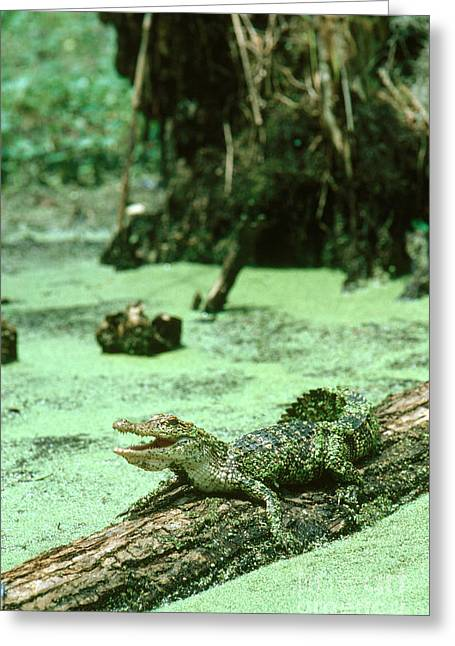 American Alligator Greeting Card by Gregory G. Dimijian, M.D.