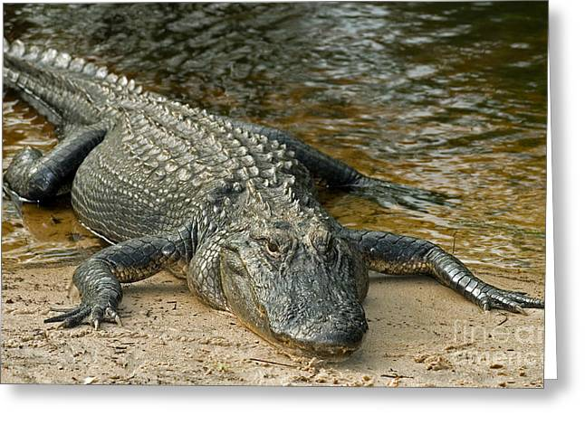 Aquatic Animal Greeting Cards - American Alligator Greeting Card by Millard H. Sharp