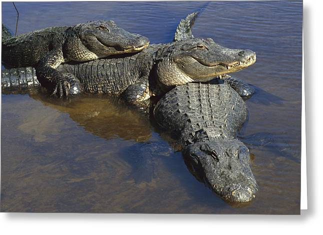 Louisiana Alligator Greeting Cards - American Alligators In Shallows Florida Greeting Card by Heidi & Hans-Juergen Koch