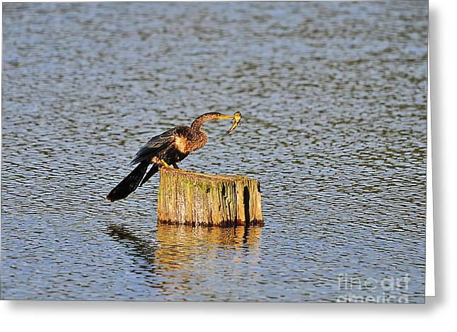 Anhinga Greeting Cards - American Anhinga Angler Greeting Card by Al Powell Photography USA