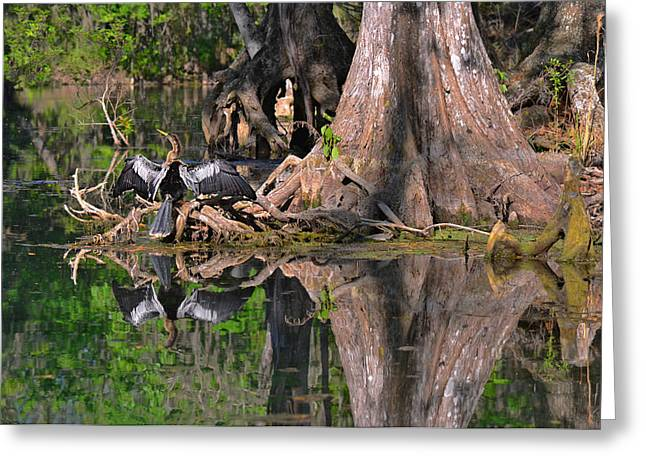 Cormorants Greeting Cards - American Anhinga or Snake-Bird Greeting Card by Christine Till